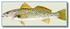 Gray Trout